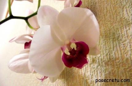 Красавица - орхидея